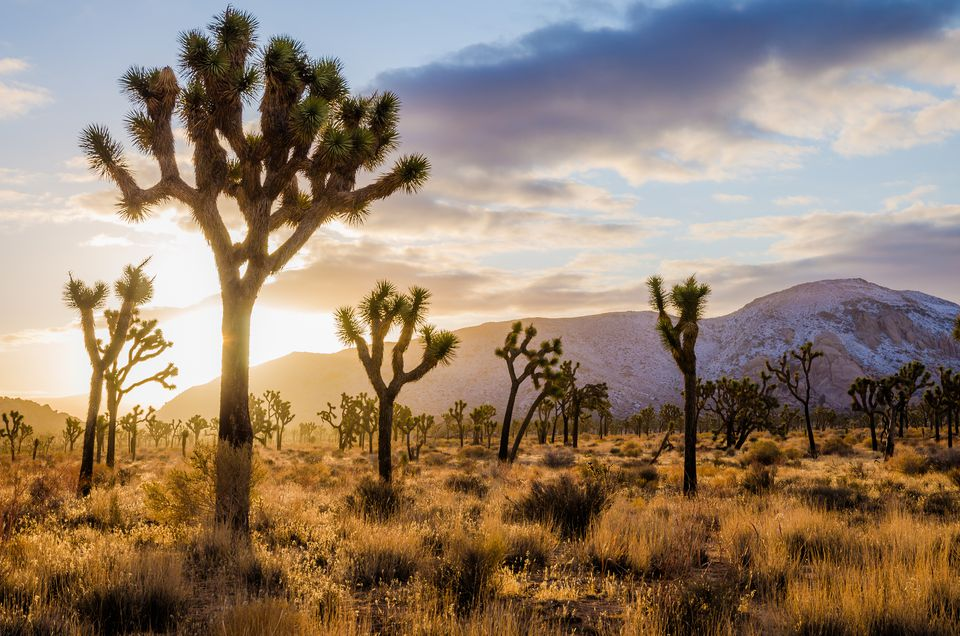 joshua-tree-forest-